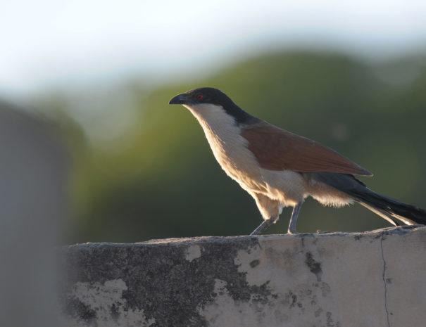 Coucal du Sénégal